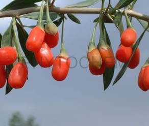 Gojiberry Extract 50% Polysaccharides