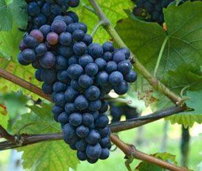 Grape Skin Extract 40%  Polyphenols