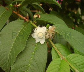 Guava Leaf Extract 30% Polyphenols
