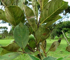Guava Leaf Extract 30% Saponins