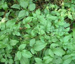 Gynostemma Pentaphyllum 30%