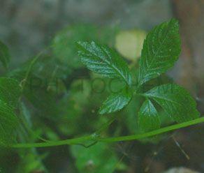 Gynostemma Pentaphyllum 80%